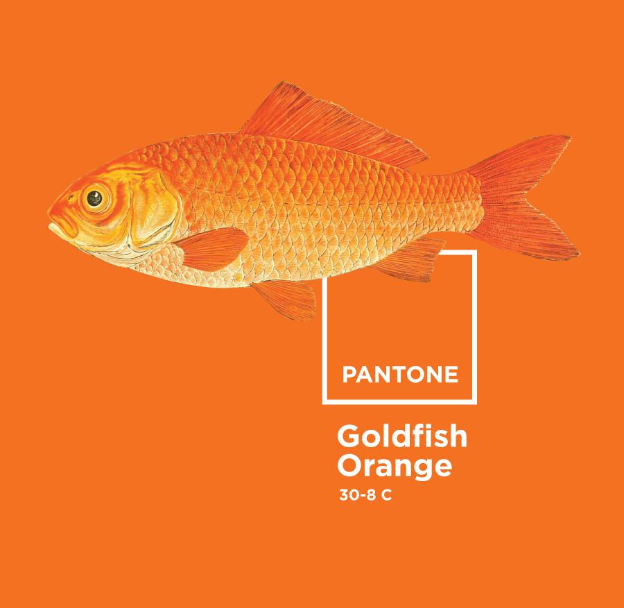 Design to Code: Orange Pantone Goldfish. Free image via the amazing free library of the BioDiversity Flickr Photostream | www.alicia-carvalho.com/blog