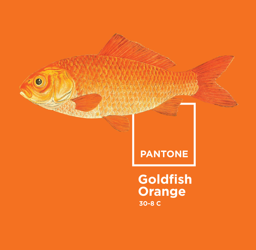 Design to Code: Orange Pantone Goldfish. Free image via the amazing free library of the BioDiversity Flickr Photostream | www.alicia-carvalho.com/blog